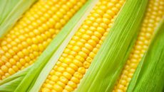 Украина вытесняет США с китайского рынка кукурузы