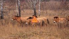 Ученые с экочиновниками насчитали в Чернобыле свыше 100 здоровых коней