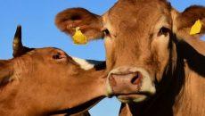 Стартап из Британии разработал Tinder для коров