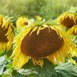 В Украине уменьшилась реализация масличных - Госстат