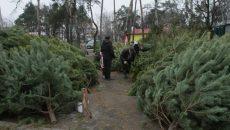 К Новому году заготовят более 500 тыс. елок – Гослесагентство