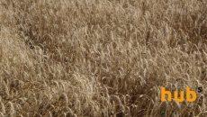 В Украине зерновые собрали с 99% засеянных площадей