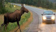 В Украине произошло почти 600 ДТП с участием животных – СМИ