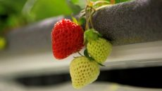 Стартап привлек $50 млн на выращивание клубники
