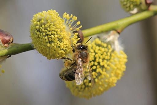 Пыльца может усиливать распространение COVID-19, - исследование